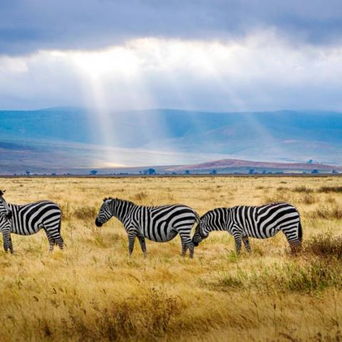 Zebras on the savanna