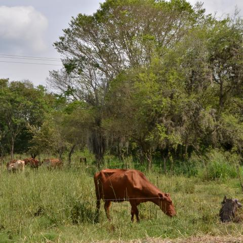 Colombian farm with cows